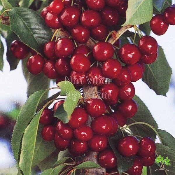 gia-cherry-my-giong