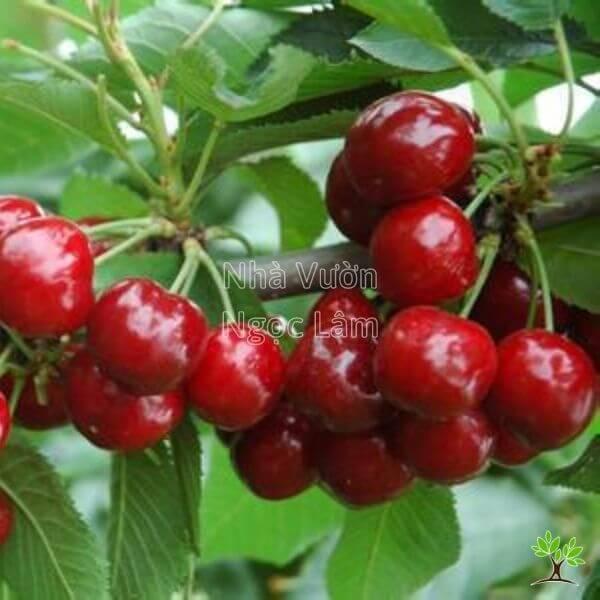 ky-thuat-cham-soc-cherry-my-giong