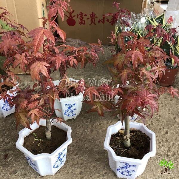 Cây phong lá đỏ loại 3
