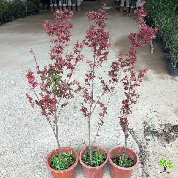 phong-la-do-bonsai